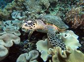 Sea turtle on coral reef underwater