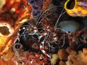 Couple of Banded Coral Shrimp