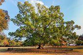 Old Big Tree At Nara Park In Nara
