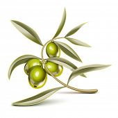 Green olives on a branch