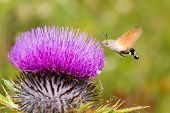pic of small-hawk  - Hummingbird Moth in Action over purple burdock - JPG