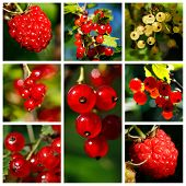 Red currant, yellow currant and raspberry