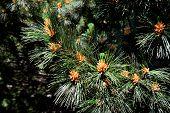 Pinus peuce (Macedonian pine). Needles and kidney closeup