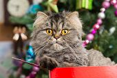 Persian Kitten Sitting In Red Box Under Christmas Tree