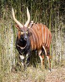 Bongo Antelope  (tragelaphus Eurycerus Eurycerus)