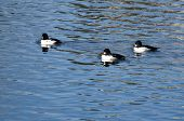 Three Common Goldeneyes Resting On The Water