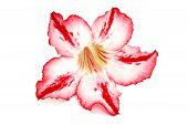 pic of desert-rose  - Red desert rose flower on the white Background - JPG