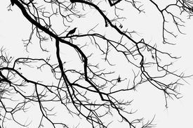 image of pecan tree  - Silhouette of a bird perched in a pecan tree against the sky in Austin - JPG