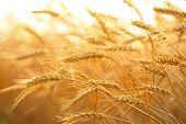 Wheat field in sunshine,Closeup.