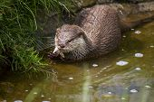 Otter Eating 2