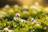 Beautiful White Anemones Flowers With Bokeh In Morning