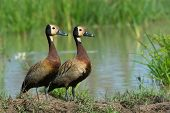 Two White-faced Whistling Ducks (dendrocygna Viduata) Beside A Pond