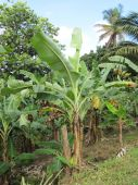 foto of banana tree  - Plantations in St Lucia in the Caribbean - JPG