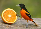 Icterus aproximando laranja
