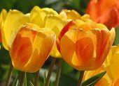 Tulipas laranja e amarelas