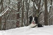 Border Collie Dog In The Snow