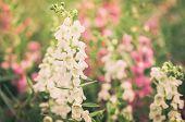Antirrhinum Majus Or Snapdragons Or Dragon Flowers Vintage