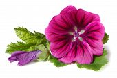 Vibrant Flower Wild Mallow With A Bud Isolated