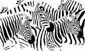 foto of hoof prints  - black and white vector illustration of zebras - JPG