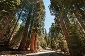 Sequoia Tree Street