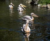 Beautiful Great White Pelican (pelecanus Onocrotalus)