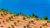 Olive Groves By The Sea In Dalmatia