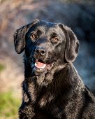 Portrait Of Cheerful Domestic Dog Labrador Retriever Outdoors