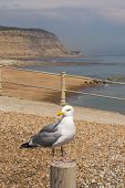 Herring Gull On A Post