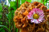 image of morchella mushrooms  - Red and white Daisy flower captured by cap of Common morel or Morchella Esculenta close up view - JPG