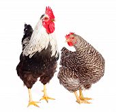 Rooster And Chicken On White Background