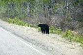 Black Bear on the Side of the Road
