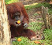 Orangutan mit orange