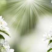 White Spring Flowers With Sunlight Effect, Flower Background With Natural Light Bokeh