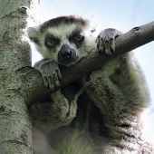 Baby lemur relaxing on the tree and looking on camera. Madagascar