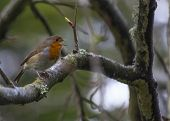 stock photo of red robin  - Robin Red Breast On Branch in Ireland - JPG