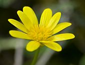 Single Small Yellow Flower With Many Petals Lesser Celandine Ranunculus Ficaria
