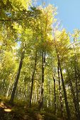 Beech forest in autumn colors