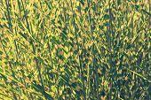 Clump Of High Grass, Natural Background