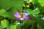 Pink Lotus Flower Stamen Close Up Beijing China