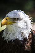American white-headed eagle