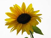 Yellow sunflower on a white background
