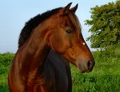 Bay Morgan Horse