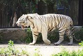 Beautiful white tiger in cage.