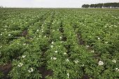 field with blooming potato.