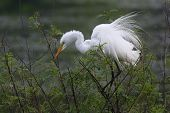 Great Egret Perched At Texas Rookery