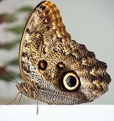 foto of owl eyes  - Photograph of a resting Owl Butterfly taken against a white and gray background - JPG