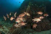 Red Squirrelfish school coral reef
