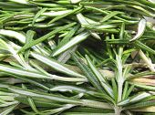 foto of camphor  - Rosemary  - JPG