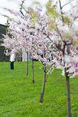 Child Standing In Sakura Garden
