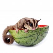 Sugar Glider  Enjoy Eating Watermelon Isolated On White